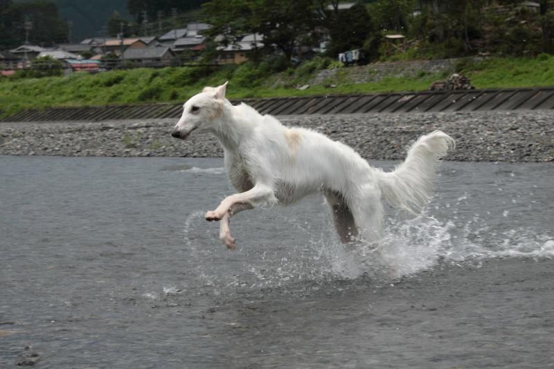 ボルゾイと川遊び